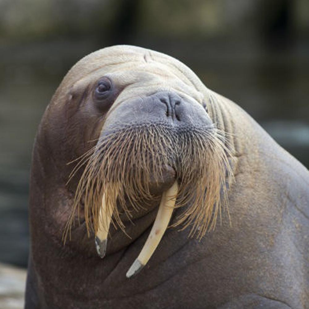 walrus met lange snorharen en slagtanden